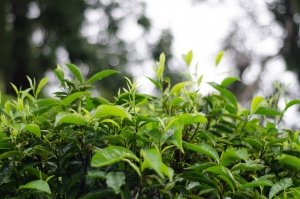 Quality fresh tea leaves of Pumuen Mountain