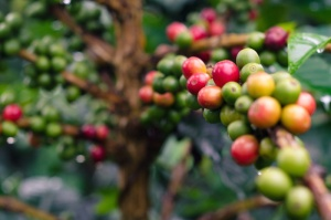 Fresh coffee cherry of Pumuen Mountain